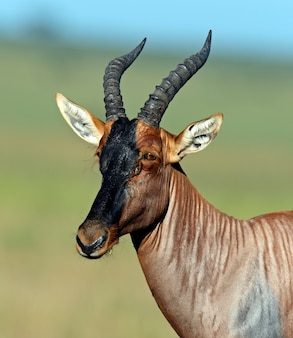 Topi-antilope im masai mara nationalpark. kenia