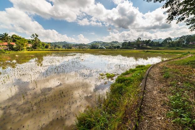 Toraja landschaft, reisfelder