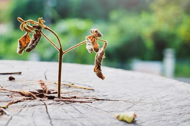 Tot von einem starken keimling, der im mittleren stammbaum wächst, fokus auf neues leben ist tot, nicht lebendig.