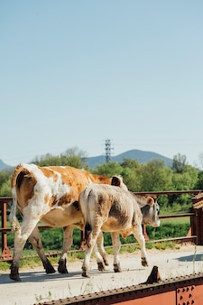 Totale kühe, die auf alte metallbrücke gehen