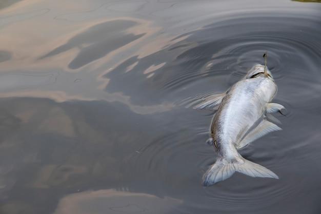 Tote fische, die in das abwasser schwimmen