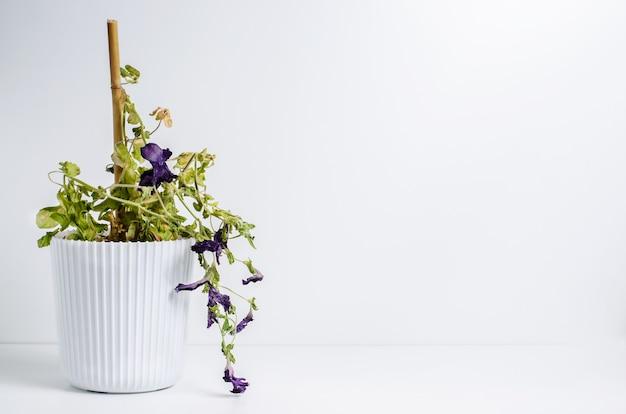 Tote pflanze in einem topf. petunie. das konzept der unsachgemäßen pflege von zimmerpflanzen. weißer hintergrund.