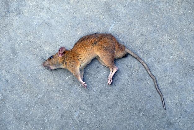 Tote ratte (maus), lokalisierter hintergrund auf straße.