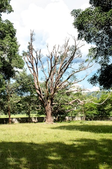 Toter baum der mango auf grünem feldpark