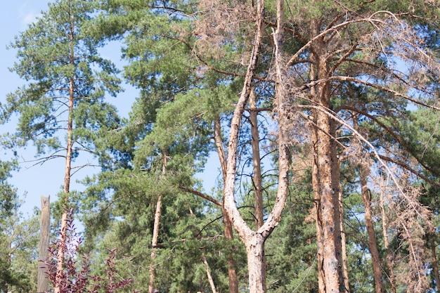 Toter trockener baum im park unter anderen grünen kiefern