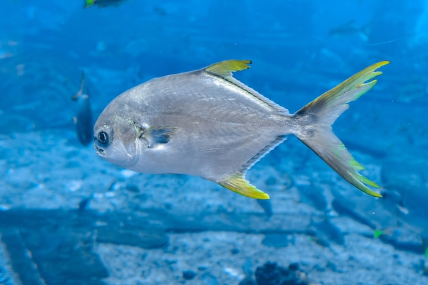 Trachinotus blochii oder snubnose pompano in atlantis, sanya, hainan, china. pompanos sind meeresfische der gattung trachinotus in der familie carangidae, besser bekannt als
