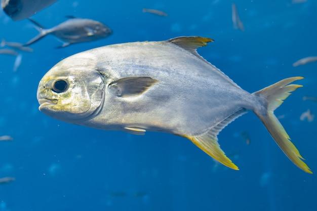 Trachinotus blochii oder snubnose pompano in atlantis, sanya, insel hainan, china. pompanos sind meeresfische der gattung trachinotus in der familie carangidae (besser bekannt als