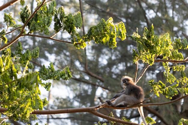 Trachypithecus obscurus und seine kinder im tropischen wald