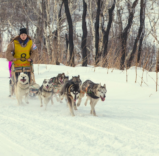 Traditionelles kamtschatka-hundeschlittenrennen elizovsky-sprint