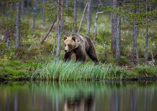 Tragen sie nahe einem waldsee mit reflexion auf einem schönen waldhintergrund