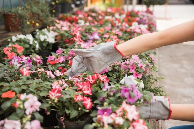 Tragende handschuhe der frau die hand, die um schönen blumen sich kümmern