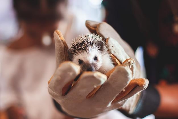 Tragender handschuh der frau, der mit kleinem igel-stachelschwein hält und spielt