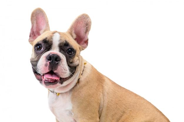 Tragender kragen der netten französischen bulldogge lokalisiert, haustier und tierkonzept
