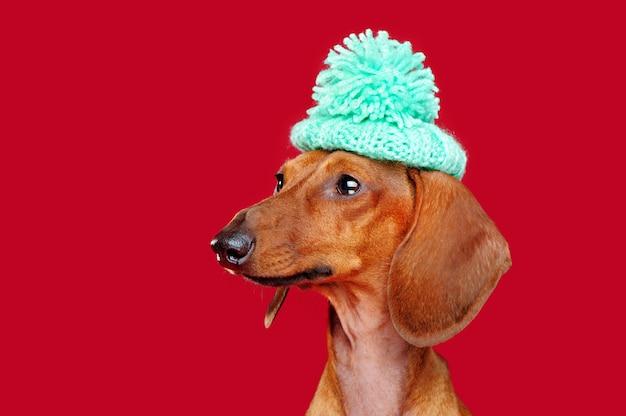 Tragendes barett des dachshunds mit dem pompon, der zur seite schaut