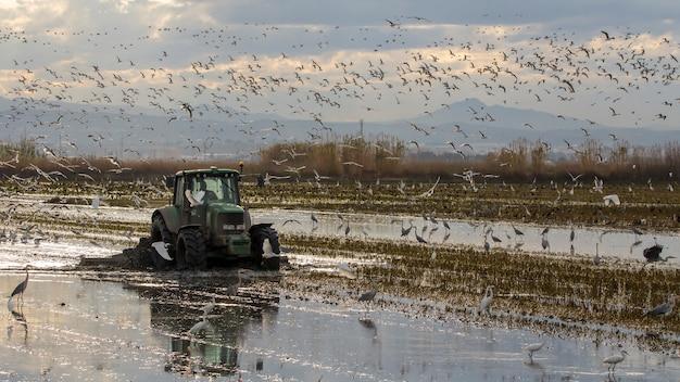 Traktor, der ein reisfeld in albufera von valencia bei sonnenuntergang bestellt.