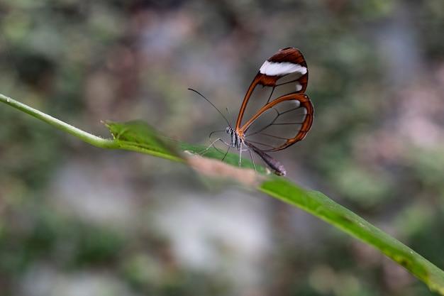Transparenter geflügelter schmetterling auf einem blatt in einem wald