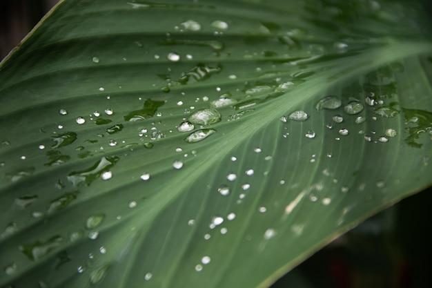 Transparentes regenwasser auf einem grünen blatt einer canna-pflanze.