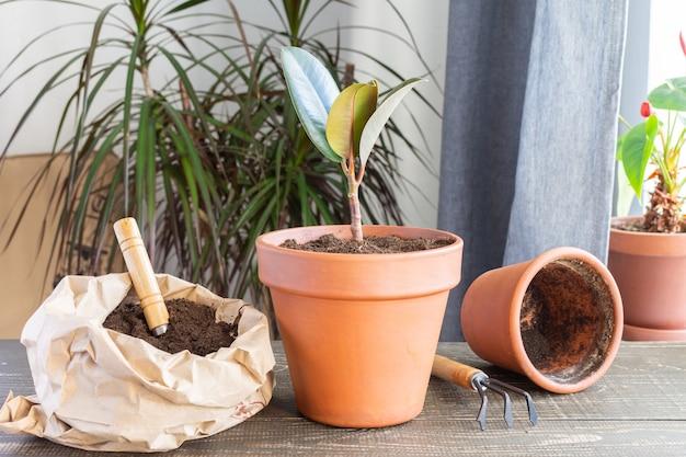 Transplantation der ficusblume in einen neuen braunen tontopf, die zimmerpflanzentransplantation zu hause