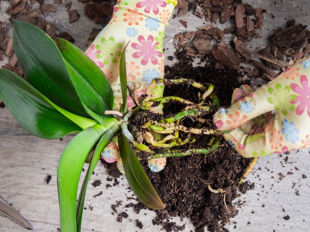 Transplantation orchideen nahaufnahme.