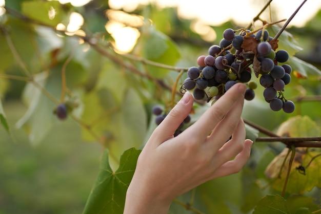 Trauben natur grün blätter vitamine bio