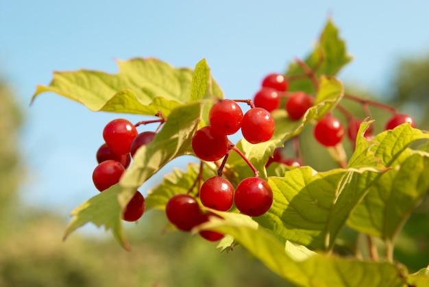 Trauben von roten schneeballbaumbeeren (viburnum opulus)