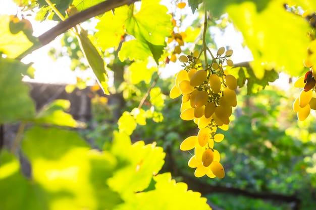 Trauben von weißen trauben auf den niederlassungen im hausgarten
