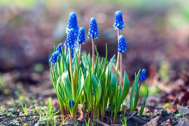 Traubenhyazinthe blüte - muscari botryoides pflanze blüht mit blauen blüten im frühlingsgarten