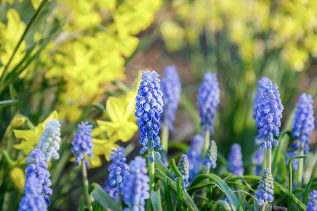 Traubenhyazinthen-muscari, frühe frühlingsblumen auf heller natur