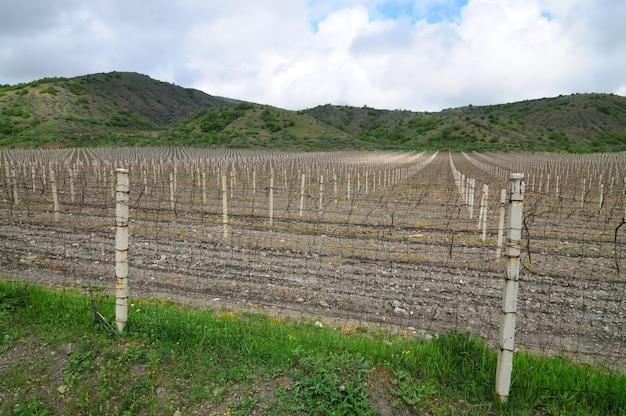 Traubenreihen in der nebensaison, weinberge auf der krim zwischen hügeln, bewölktem himmel und grünem gras