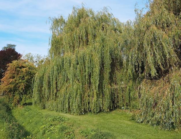 Trauerweidenbaum