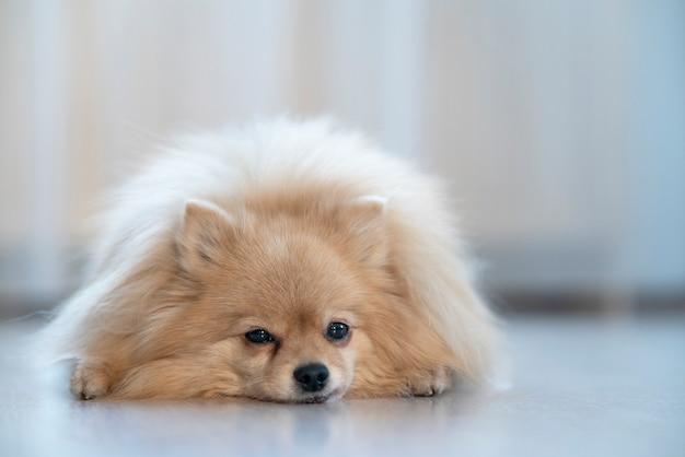 Traurig verärgert liegt der kleine pommersche spitzhund zu hause im haus auf einem boden und leidet.