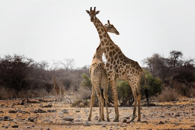 Trauriger blick auf zwei giraffen mitten im wald nach den australllianischen waldbränden