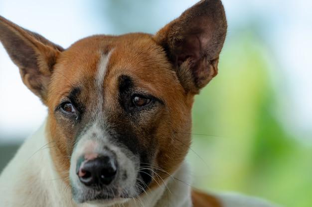 Trauriger hund, der mit dem schuldigen gefühl schaut.