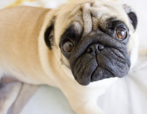 Trauriger pug, der auf das bett legt