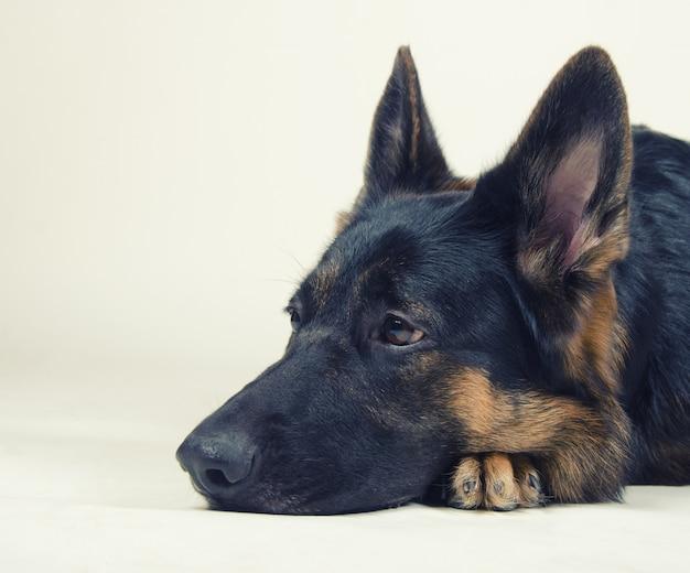 Trauriger schäferhund