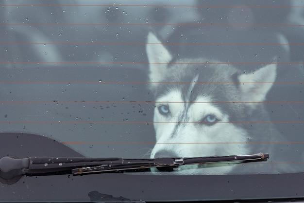 Trauriger und lustiger hund des sibirischen huskys im auto, nettes haustier. hund, der auf das gehen vor schlittenhundetraining und -rennen wartet.