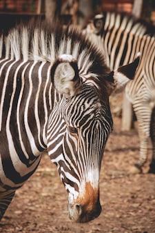Trauriges schauendes zebra