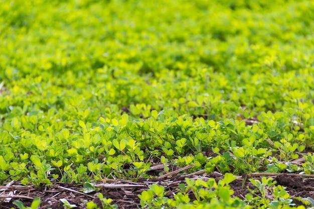 Trebol plantage für futter in den bergen