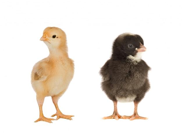 Treffen der hühner zu ostern