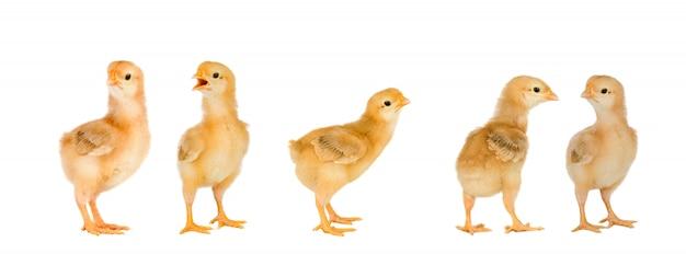 Treffen von gelben hühnern zu ostern