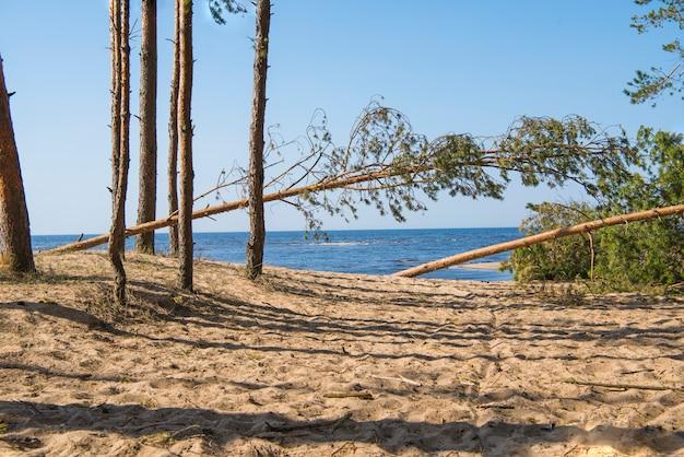 Treibholzstamm an der seeküste. sonniger sommertag. lettland. fluss namens gauja