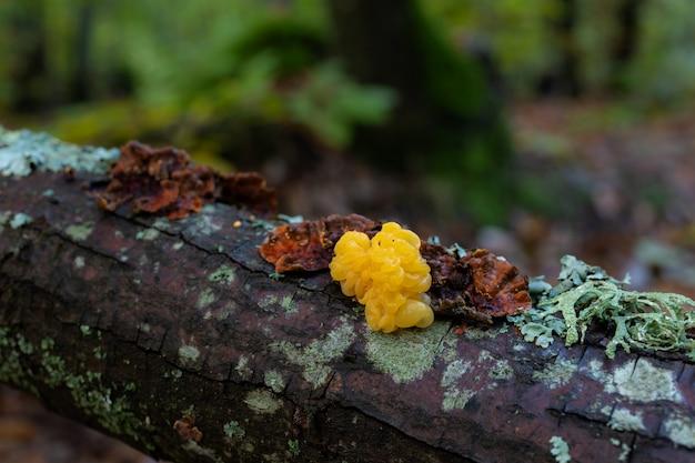 Tremella mesenterica. schöner pilz, der auf abgestorbenem holz wächst. fotografiert in einem kastanienwald.