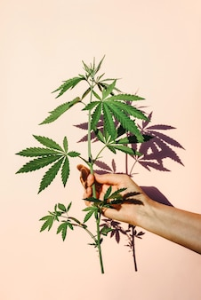 Trendige sonnenlichthand mit busch von marihuana, hanf auf dem hintergrund der rosa wand