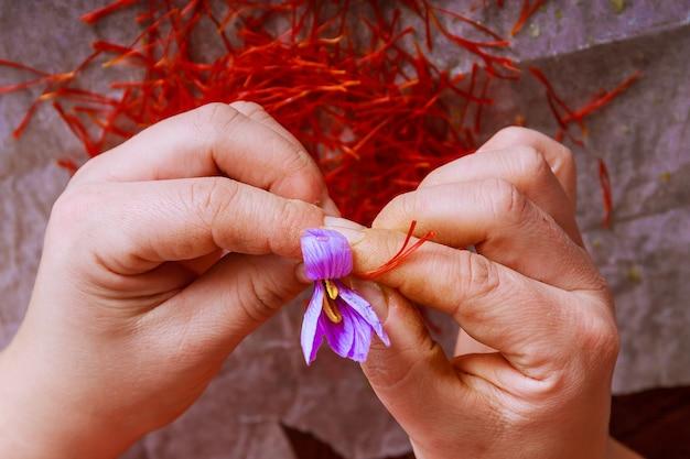 Trennung der safranfäden vom rest der blüte. vorbereitung von safranfäden zum trocknen vor der verwendung in der küche, kosmetik oder medizin.