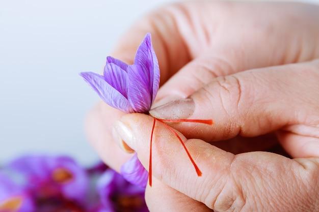 Trennung der safranfäden vom rest der blume. verwendung in der küche, kosmetologie oder medizin.