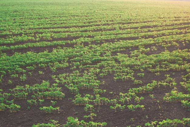 Triebe von fild mit grünen bohnensprossen im sonnenuntergang. schöne landschaft