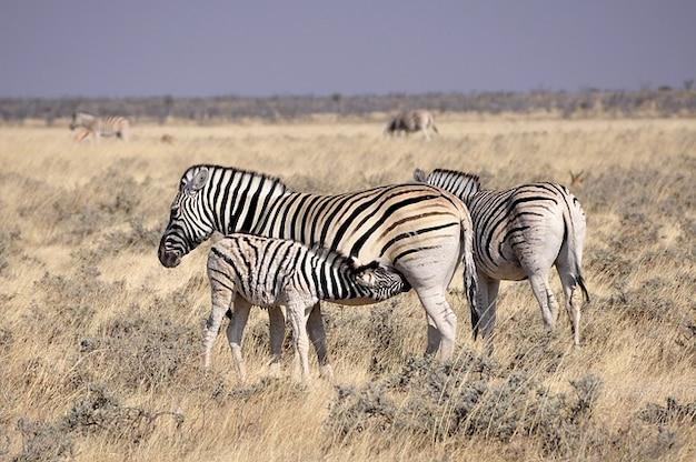 Trinken fohlen zebra haustiere suckle africa reborn