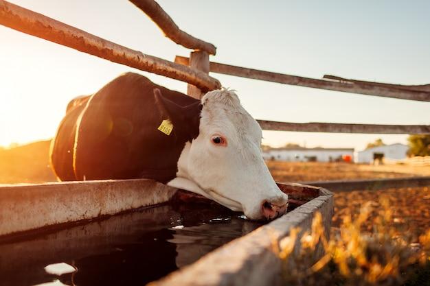 Trinkwasser der kuh auf bauernhofyard bei sonnenuntergang. vieh, das draußen in landschaft geht.