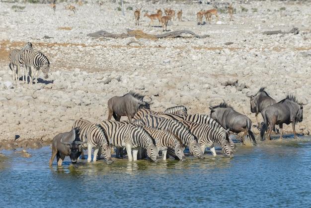 Trinkwasser der wilden zebras im wasserloch in der afrikanischen savanne