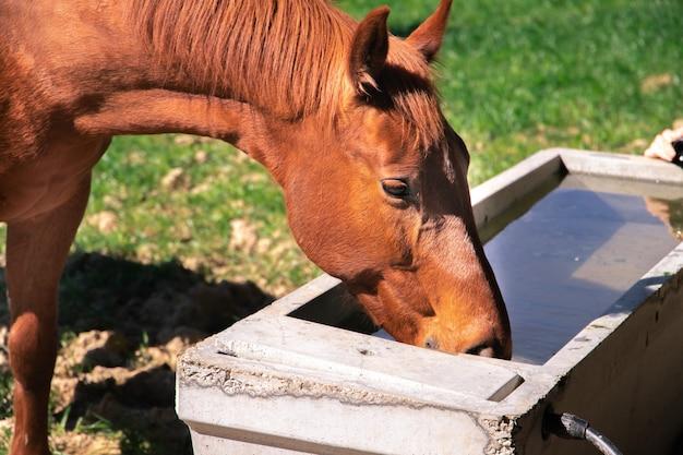 Trinkwasser des braunen roten orange alten pferdes vom tank mit grünem gras im hintergrund während des frühlings